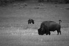 Björn och bison Arkivbild