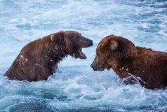 Björn på Alaska Fotografering för Bildbyråer