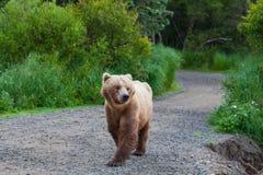 Björn på Alaska royaltyfria foton