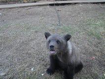 Björn på en kedja Arkivbilder