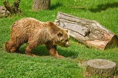 Björn på gräsmattan Royaltyfria Foton