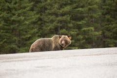 Björn på kanten av vägen Arkivfoto