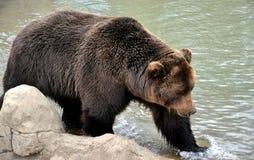 Björn på sjön Arkivbild