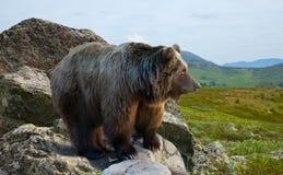 Björn på stenen i wildness Arkivfoto