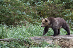 Björn på träd Arkivfoton