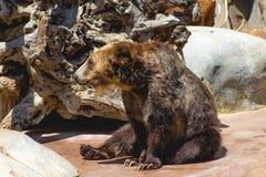 Björn på zoo Fotografering för Bildbyråer