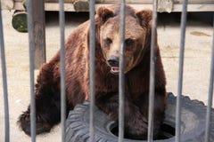 Björn på zoo Royaltyfri Foto