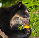 björn som äter spectacled frukt Arkivbilder