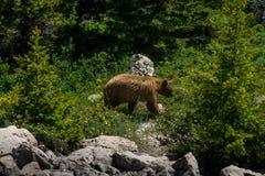 Björn som går i vildmark på glaciärnationalparken Arkivfoton