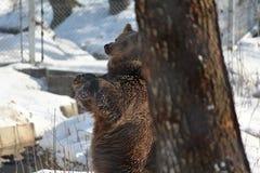 Björn som gnider mot träd under vinter Arkivfoto