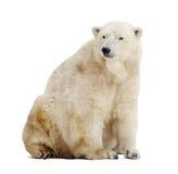 björn som isoleras över polar white royaltyfria bilder