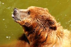 björn som klibbar ut tungan Royaltyfria Bilder