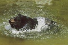 Björn som plaskar i ett damm  Royaltyfria Foton