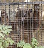 Björn som poserar bak stänger i en zoo Arkivbilder