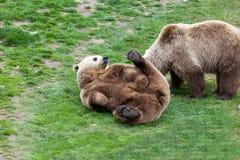 Björn som rullar på ett gräs Royaltyfri Bild