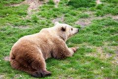 Björn som rullar på ett gräs Royaltyfria Bilder