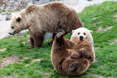 Björn som rullar på ett gräs Arkivfoto