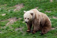 Björn som rullar på ett gräs Arkivfoton