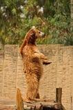 Björn som står på två ben. Fotografering för Bildbyråer