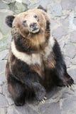 Björn som står upp Royaltyfria Foton