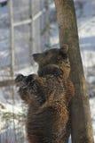 Björn som tillbaka gnider Royaltyfri Bild