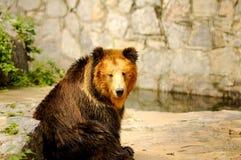 Björn som turnning hans huvud Royaltyfria Bilder