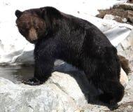 björn svarta vancouver Arkivfoto