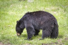 björn svarta yellowstone Royaltyfria Bilder