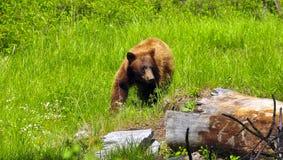 björn svarta yellowstone Royaltyfria Foton