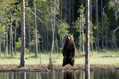 björn wild bruna europeiska finland Royaltyfri Foto