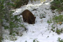 björn yellowstone Royaltyfria Foton