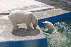 björnar Royaltyfri Foto