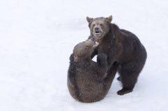 Björnar i den bohemiska skogen, Tyskland Royaltyfria Bilder