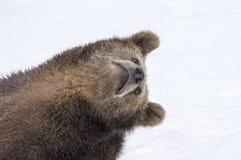 Björnar i den bohemiska skogen, Tyskland Royaltyfri Fotografi
