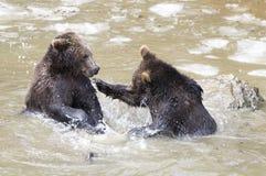 Björnar i den bohemiska skogen, Tyskland Arkivfoton