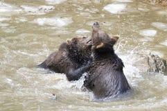 Björnar i den bohemiska skogen, Tyskland Royaltyfri Bild