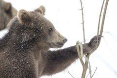 Björnar i den bohemiska skogen, Tyskland Arkivbilder