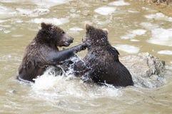 Björnar i den bohemiska skogen, Tyskland Royaltyfria Foton