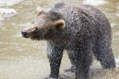 Björnar i den bohemiska skogen, Tyskland Arkivfoto