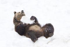 Björnar i den bohemiska skogen, Tyskland Royaltyfri Foto