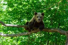 Björnar i en skog från Zarnesti den naturliga reserven, nära Brasov, Transylvania, Rumänien Arkivbilder