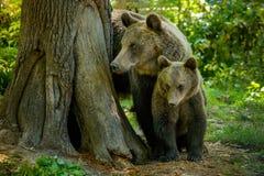 Björnar i en skog från Zarnesti den naturliga reserven, nära Brasov, Transylvania, Rumänien Royaltyfria Bilder