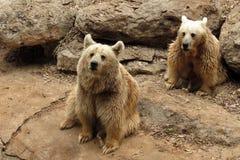 Björnar i Safari Ramat Gan, Israel fotografering för bildbyråer