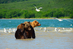 Björnar jagar på den lösa laxen Arkivfoton