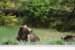 Björnar på den Banff nationalparken Royaltyfri Foto