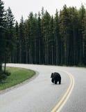 Björnar på den Banff nationalparken Royaltyfria Foton
