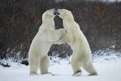 björnar 1 slåss polart arkivfoto