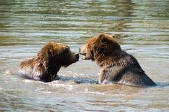 Björnar som leker i vatten Arkivbilder
