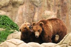björnar som leker två Royaltyfri Foto