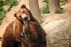 björnar som leker två royaltyfri bild